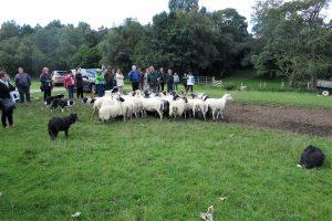 Modern day shepherding in Scotland