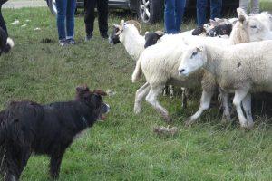 Sheep dog doing his job