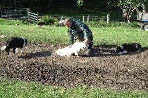 Shearing the sheep
