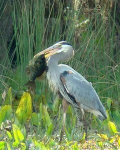 blue_heron_with_fish.jpg